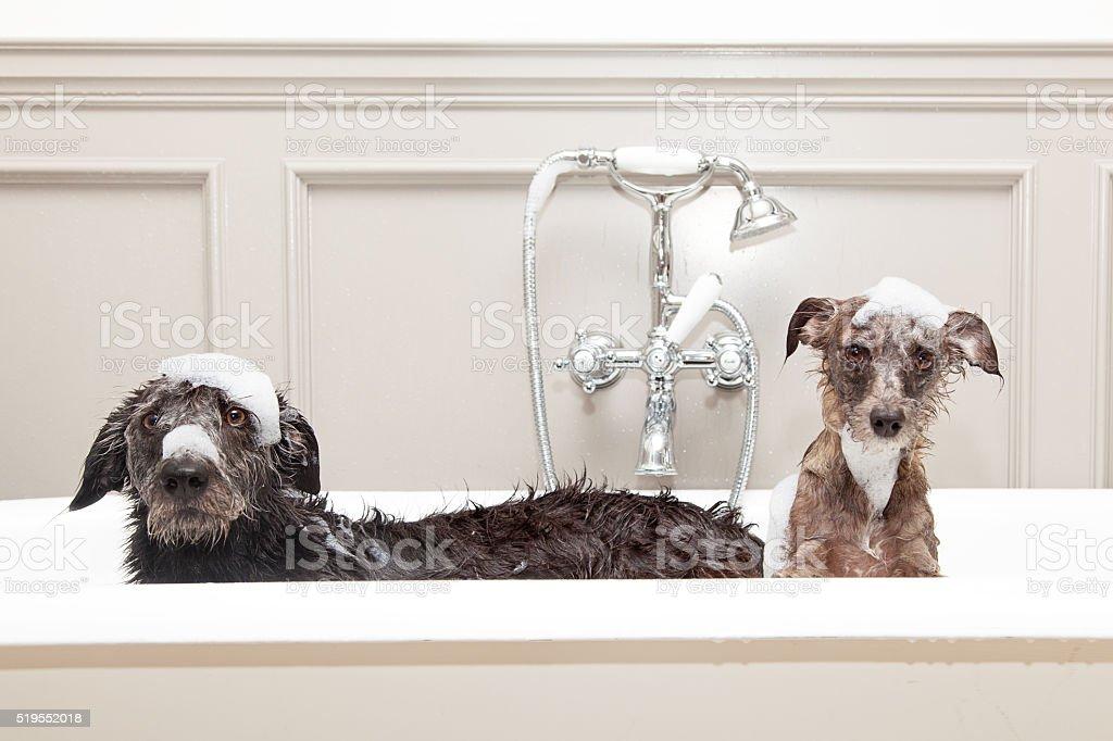 Deux drôle Wet chiens dans la baignoire - Photo