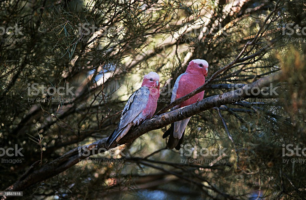 Two galahs in a tree 免版稅 stock photo