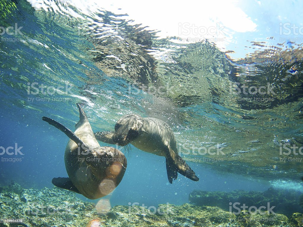 Two Galapagos Sea Lions Frolic Together Underwater stock photo