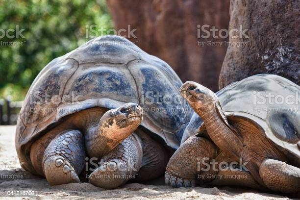 Two galapagos tortoises having a conversation as they relax picture id1041218766?b=1&k=6&m=1041218766&s=612x612&h=ummanqtw4mc73ricezn zwqkb0f7w1lzcrgdixyjiwe=