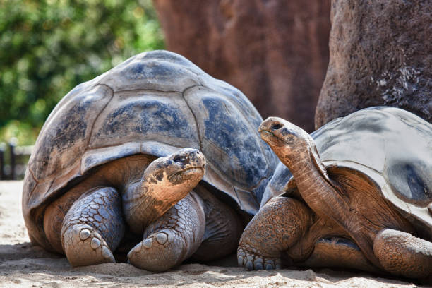 two galapagos tortoises having a conversation as they relax - żółw zdjęcia i obrazy z banku zdjęć