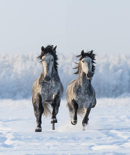zwei im galopp andalusischen hengste - andalusier pferd stock-fotos und bilder