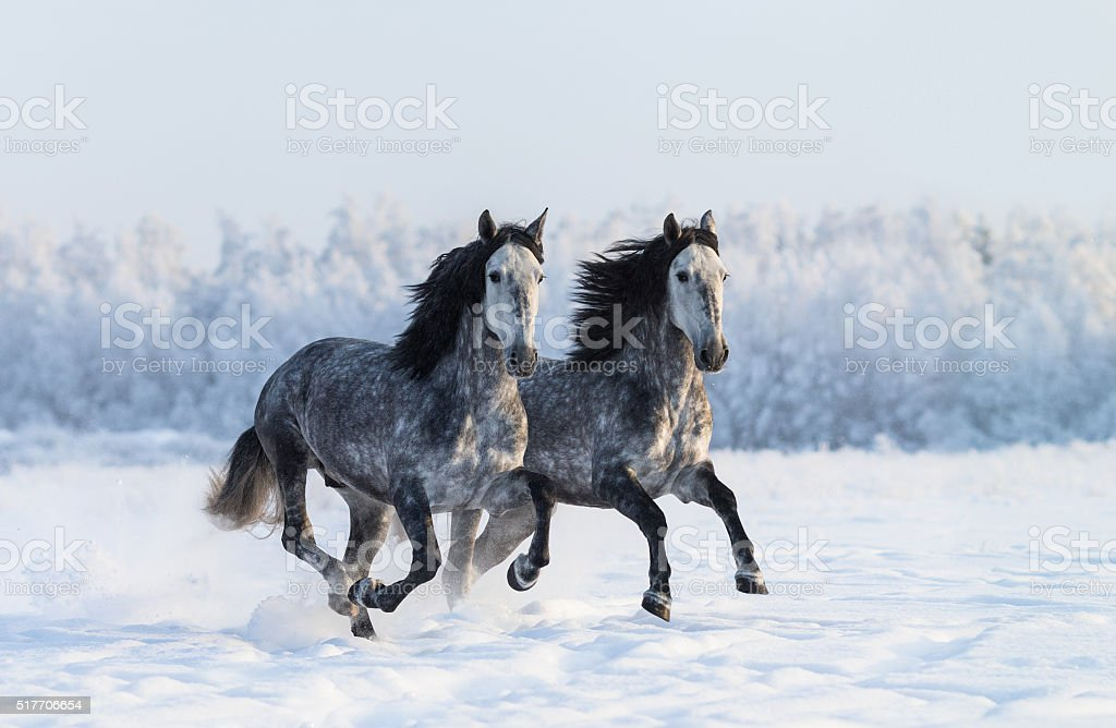 Two galloping dapple-grey Purebred Spanish horses stock photo