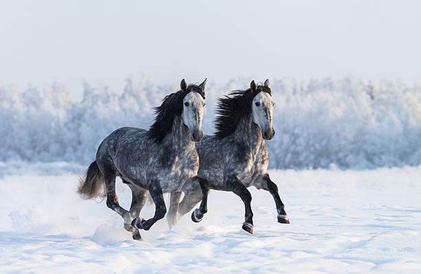 zwei im galopp dapple-grau reinrassige spanischen pferde - andalusier pferd stock-fotos und bilder
