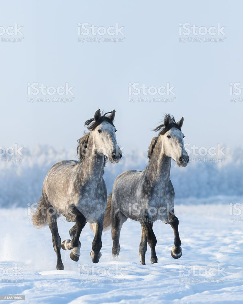 Two galloping gray horses stock photo
