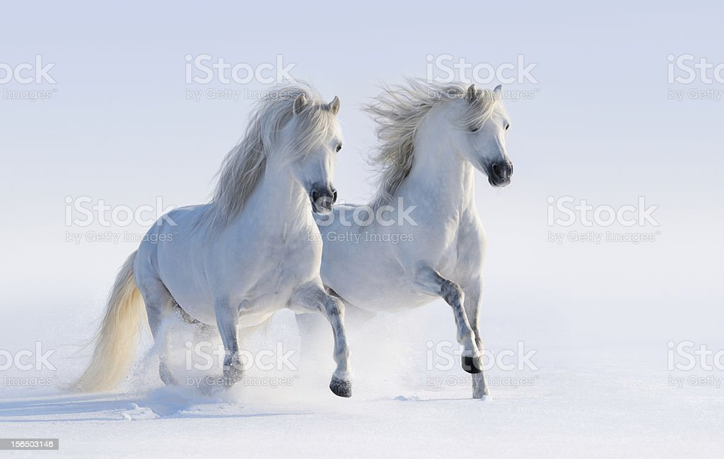 Two galloping snow-white horses stock photo