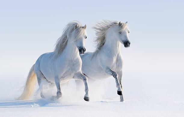 zwei weiße pferde galloping schnee - andalusier pferd stock-fotos und bilder
