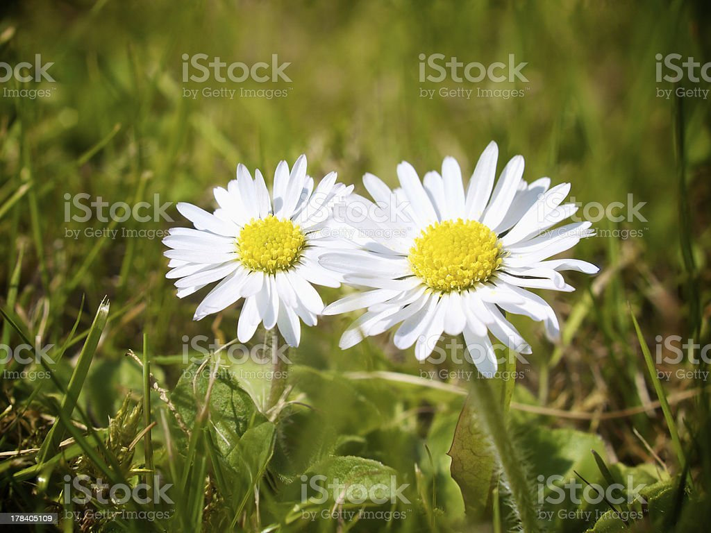 two garden Daisy flowers macro shot stock photo