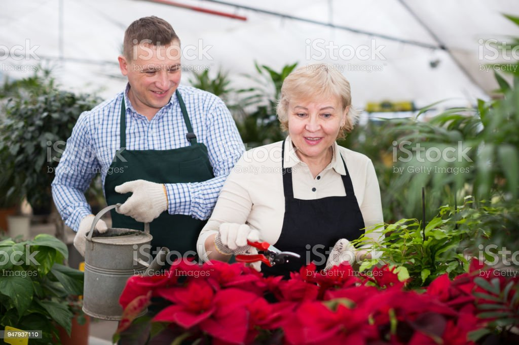 Two gardener are taking care of flowers with secateurs and watered it stock photo