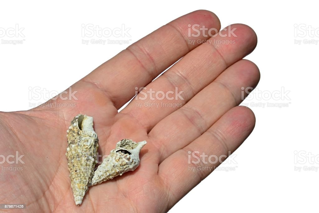 Two gastropod snail seashells held on adult man palm, white background stock photo