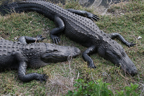 Two Gators