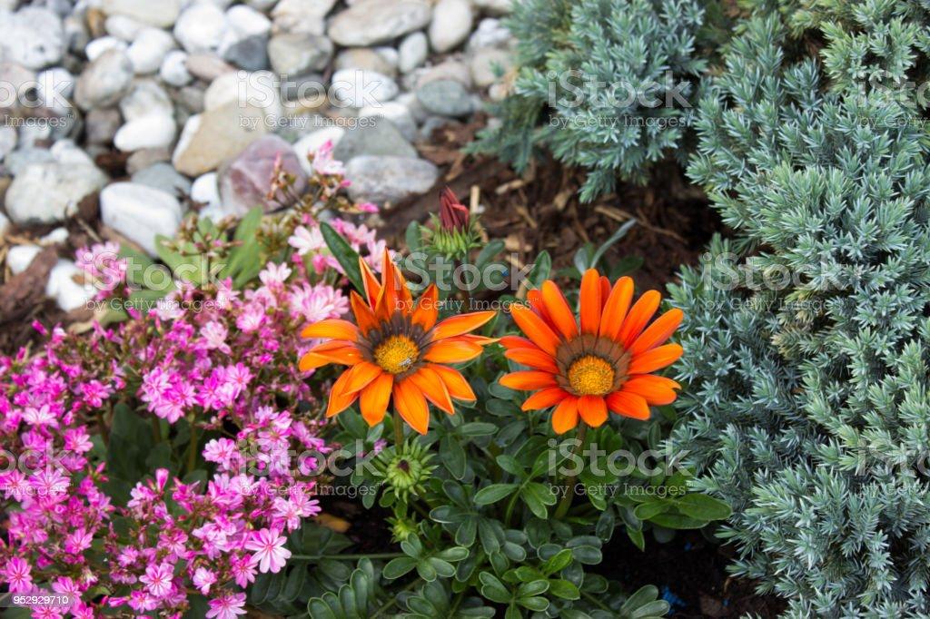 Two Gazanias on the garden stock photo