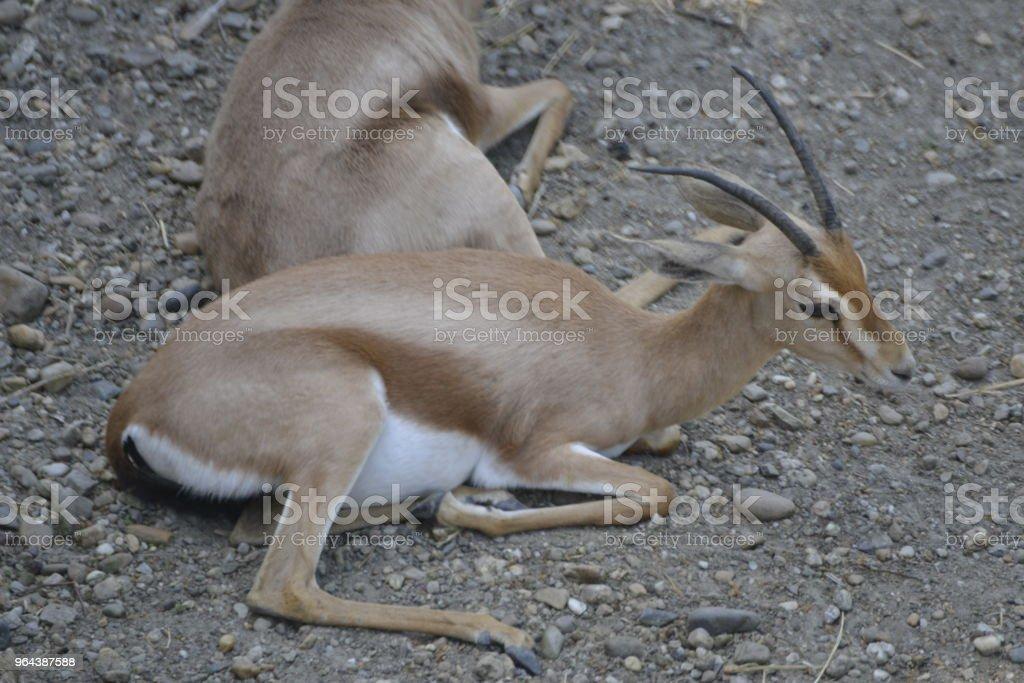 Duas gazelas deitar na areia - Foto de stock de Aepyceros Melampus royalty-free