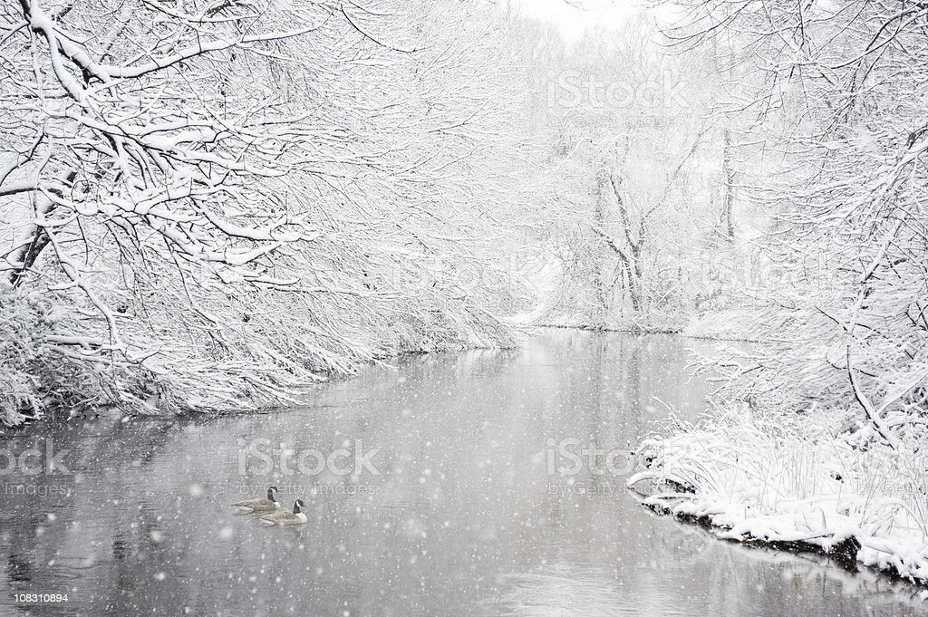 Two geese in a river during snowstorm stock photo