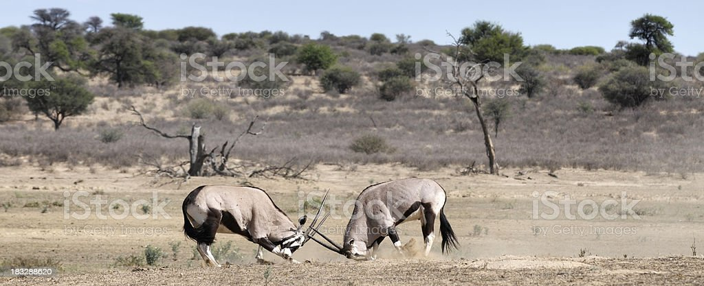 Two gemsbok in territorial fight stock photo
