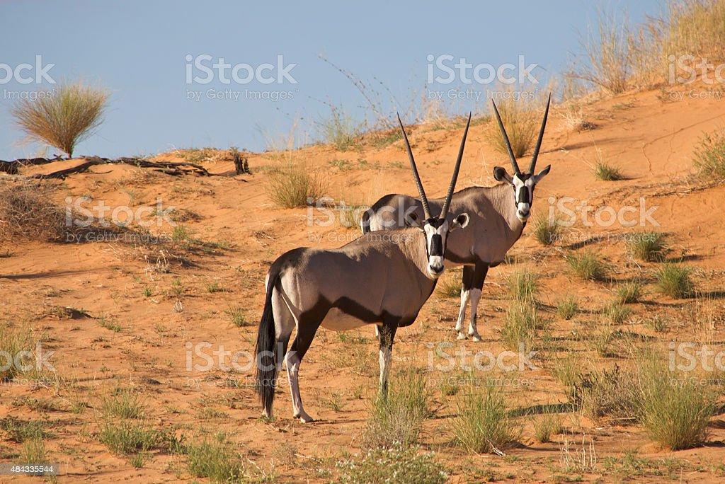 Two gemsboks in the kalahari, South Africa stock photo