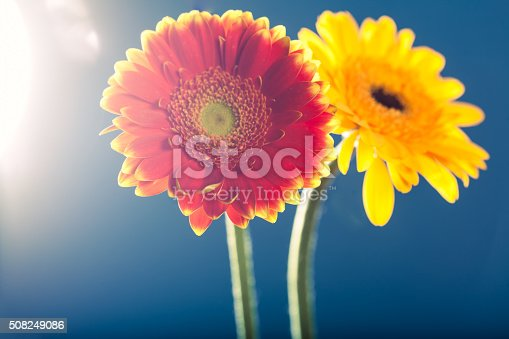 istock Two gerbera daisies, against the light, blue background 508249086