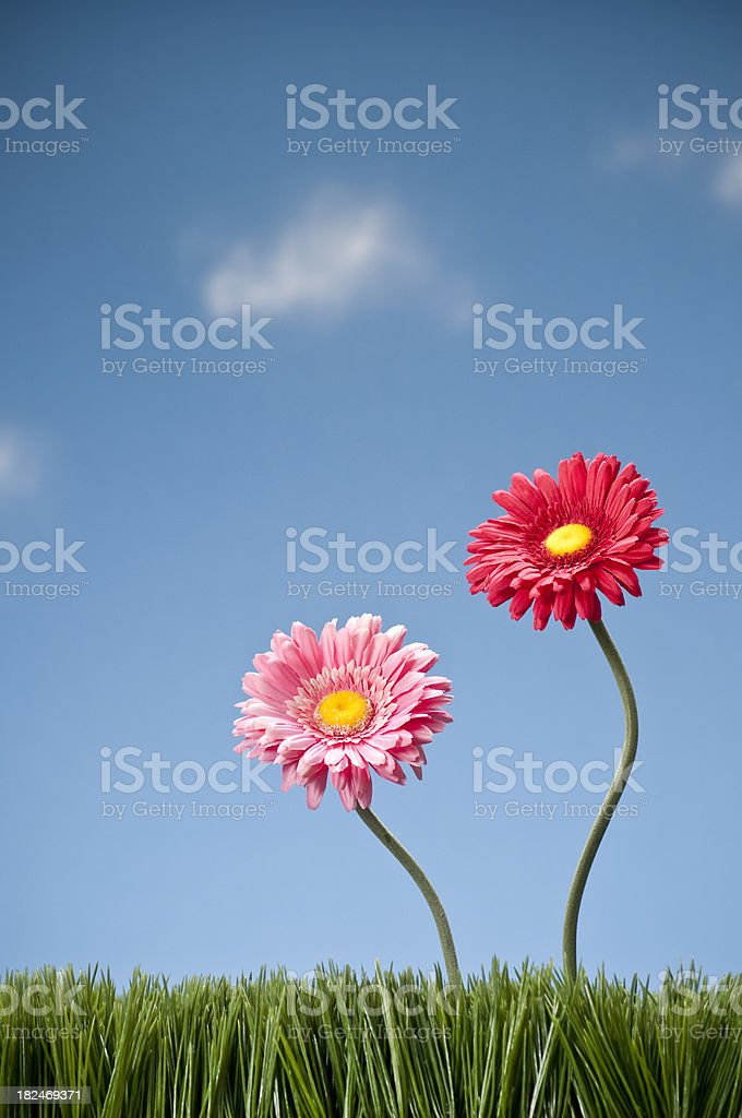 Two Gerbera Daisies Growing In The Grass royalty-free stock photo