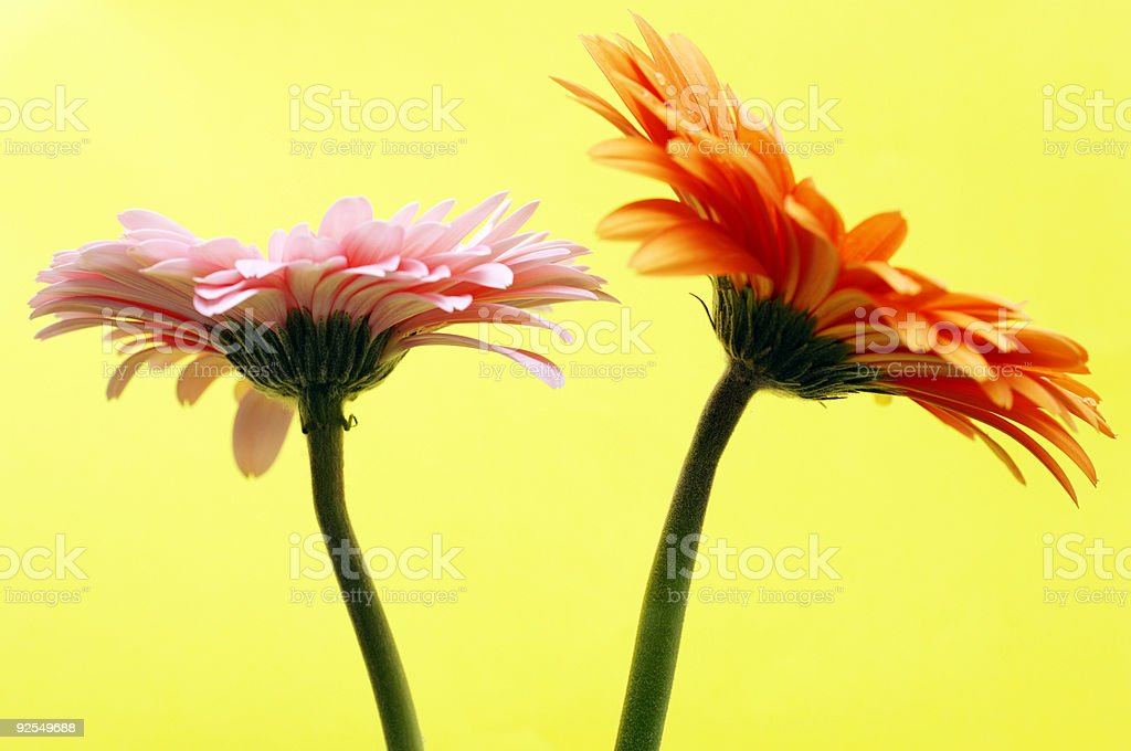 two gerbera daisy flower head macro against yellow royalty-free stock photo