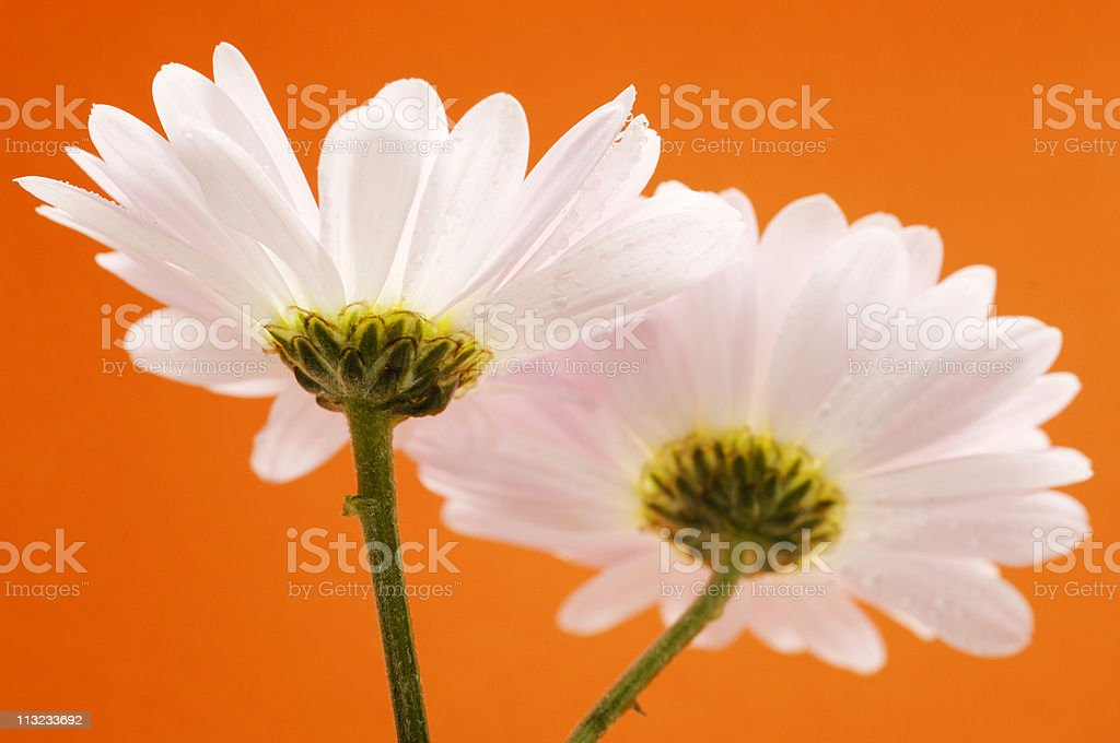 two gerbera daisy flowers coupling against orange royalty-free stock photo