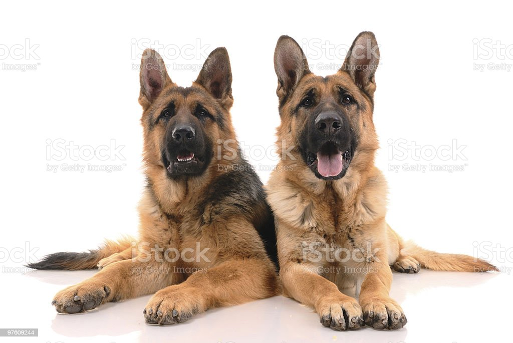 Two german shepherd dogs royalty-free stock photo
