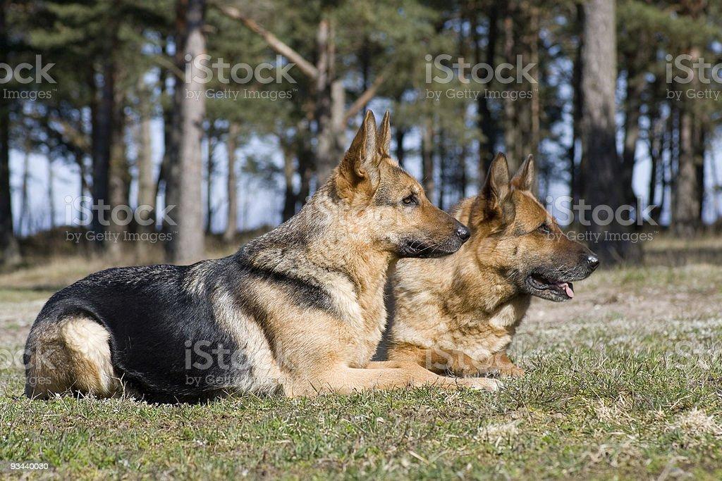 Zwei Deutschland Schaf-Hunde Leg dich auf dem Rasen Lizenzfreies stock-foto