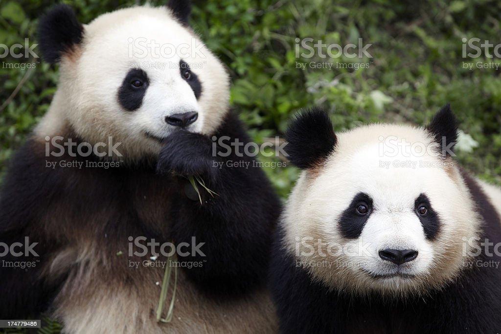 two giant pandas in zoo stock photo