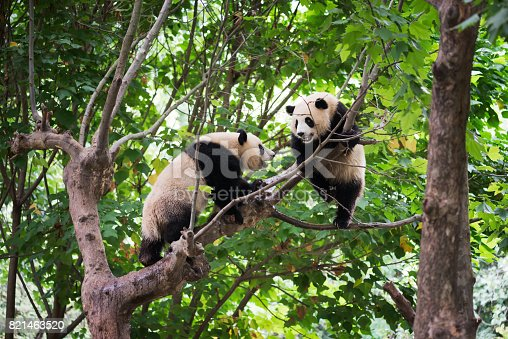 istock Two giant pandas playing in a tree 821463520