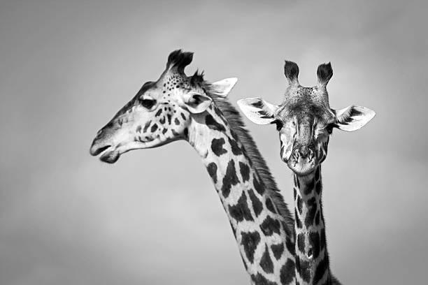 Two giraffe stock photo