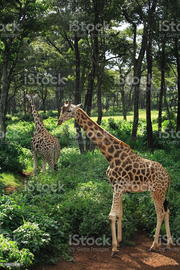 Two Giraffe strolling at Giraffe Manor Nairobi Kenya Africa royalty-free stock photo