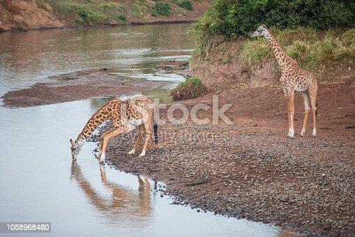 Giraffes by the river in Masai Mara