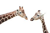 Two giraffes cut out on white background