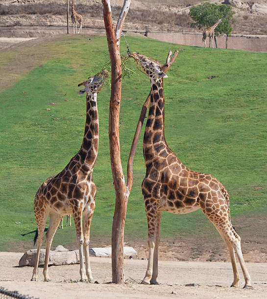 Two Giraffes having mid day meal stock photo