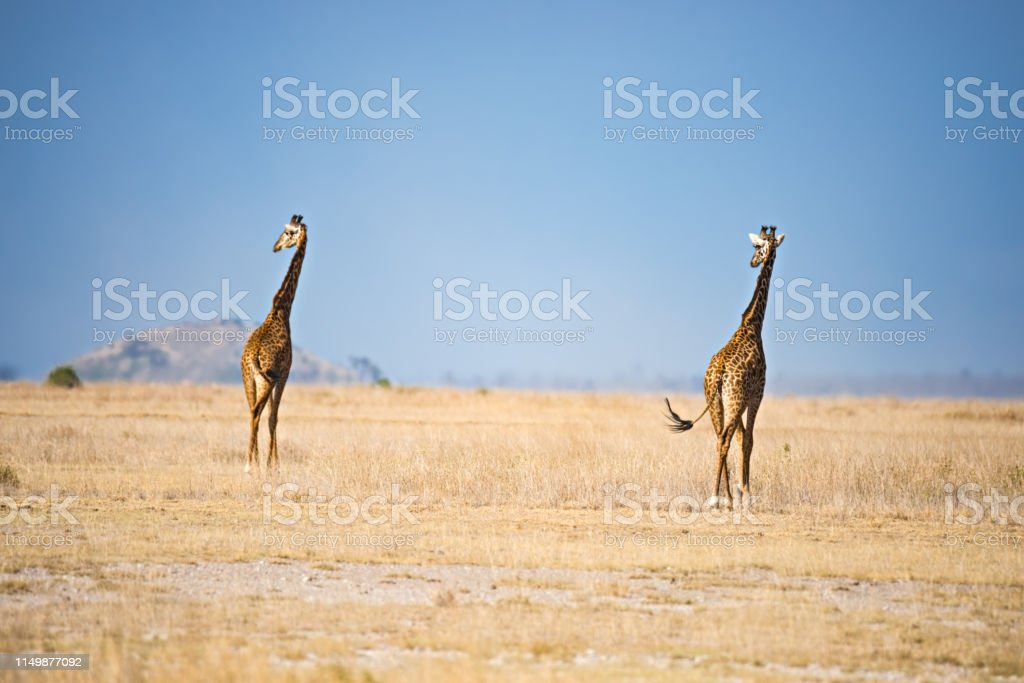 Two giraffes in savannah stock photo