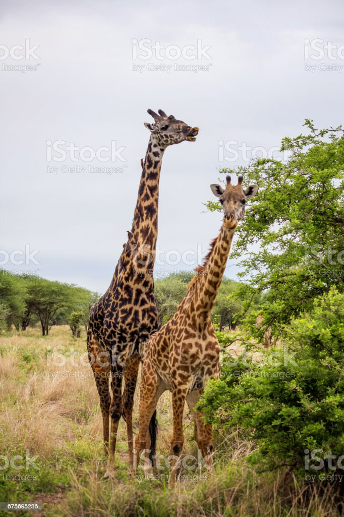 Two giraffes in Tarangire national park, Tanzania royalty-free stock photo