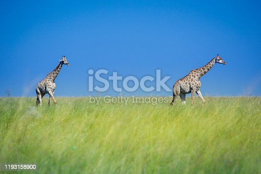 istock Two giraffes, one walking behind the other one, in the green and yellow high savanna grass of the wilderness in South Africa. Blue sky, sunny day, adventure safari road trip during self drive vacation 1193158900