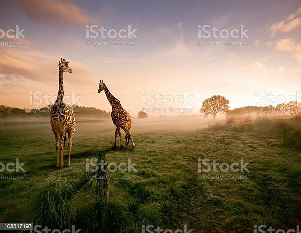 Two giraffes picture id108317197?b=1&k=6&m=108317197&s=612x612&h=bririgtx3bq978wiombtgixi nkfsmw9axfrt 2pv q=