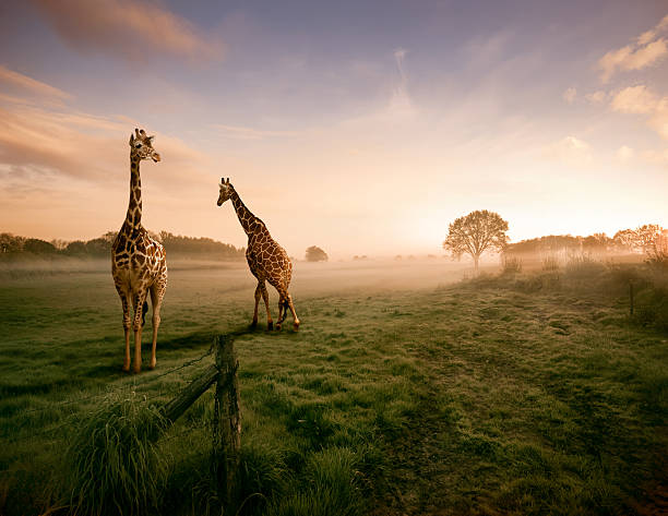 two giraffes - animals in the wild stock pictures, royalty-free photos & images