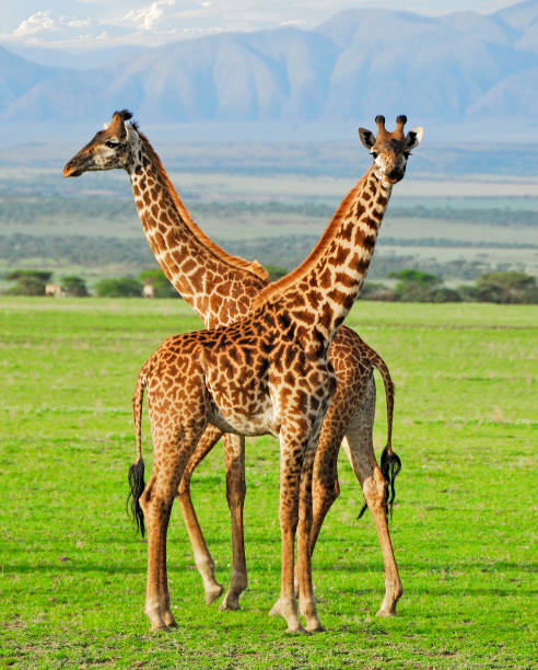 Two giraffes Two masai giraffes in Serengeti national park ngorongoro conservation area stock pictures, royalty-free photos & images
