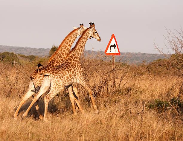 Zwei Giraffen mit rechts und biegen Sie auf den Pfeil – Foto