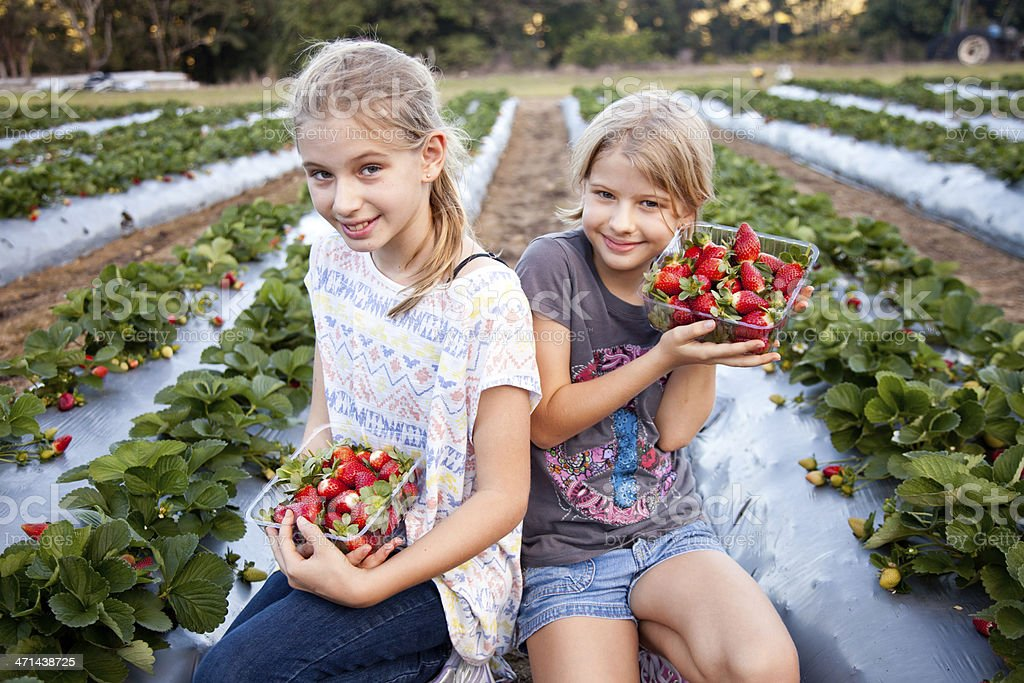 Two Girls Picking Strawberries in strawberry field on farm stock photo