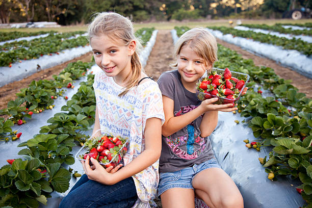 Two Girls Picking Strawberries in strawberry field on farm Two happy smiling young girls holding and picking strawberries at a pick-your-own strawberry field on a farm in Queensland, Australia – wearing casual clothes with generic designs. Click to see more... strawberry field stock pictures, royalty-free photos & images