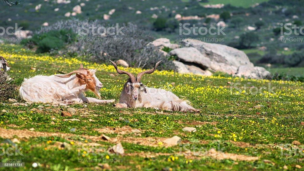 Dois aproveitar o sol de cabra - foto de acervo