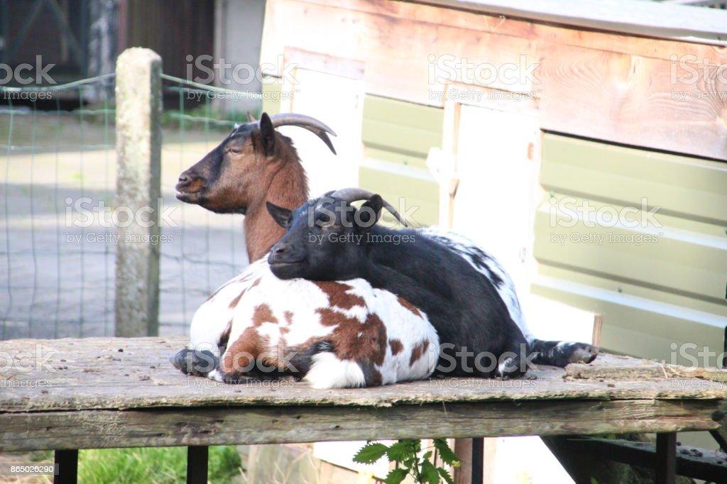 twee geiten zijn lui liggend op een pallet op een boerderij foto