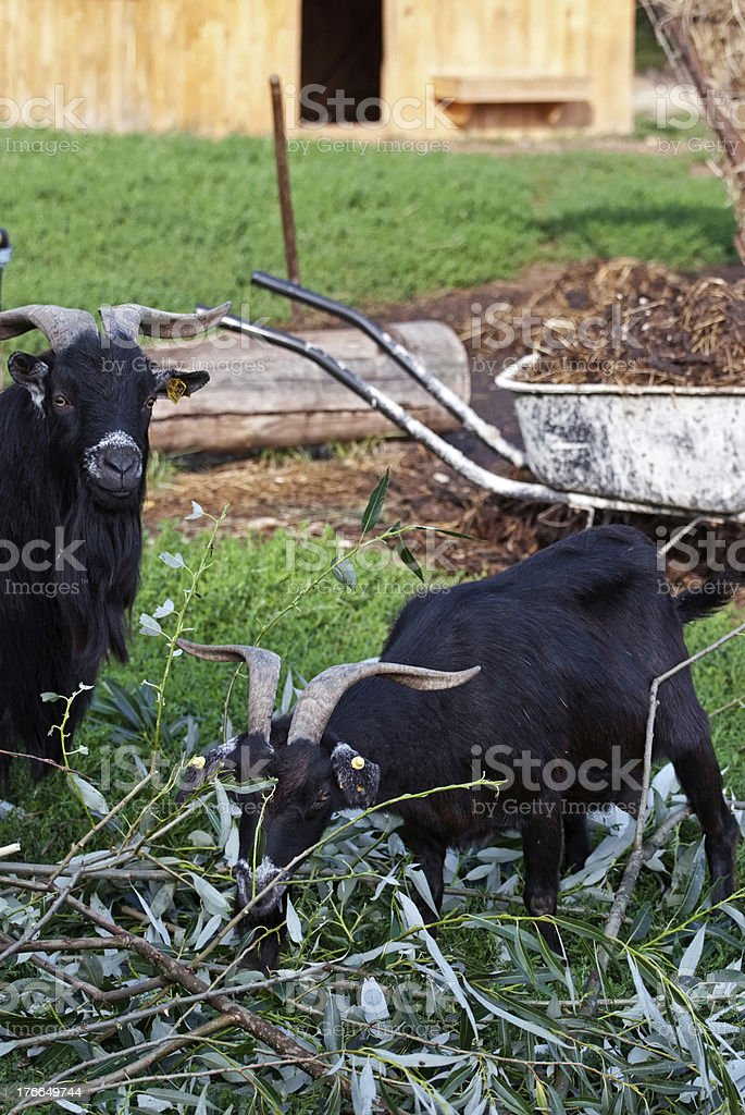 Two goats eating royalty-free stock photo