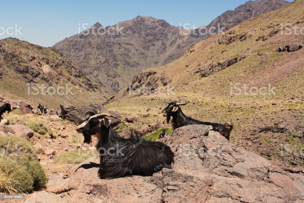 Two goats sitting on a rock in Atlas Mountains in Morocco. stock photo