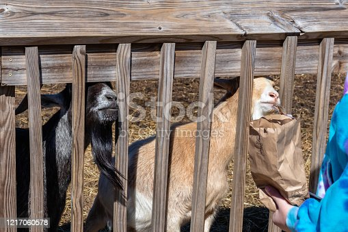Goats at a local petting zoo trying to sneak food from a paper bag being held by a child.