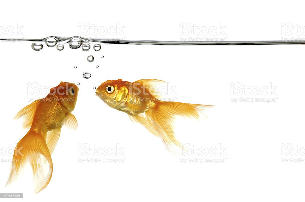 Two gold fish blowing water bubbles royalty-free stock photo
