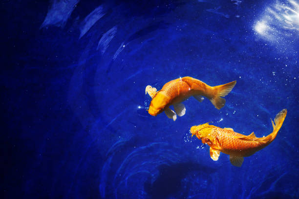 two golden koi carp fishes close up, dark blue sea background, yellow goldfish swims in water, night moonlight glow, shiny stars, fantastic sky galaxy illustration, pisces constellation horoscope sign - immerse in the stars foto e immagini stock