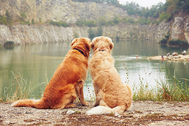 Two golden retriever dogs stock photo